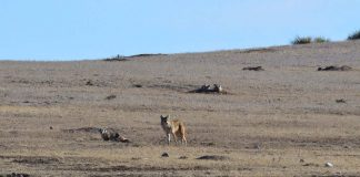 A Coyote and a Badger Show Teamwork Matters