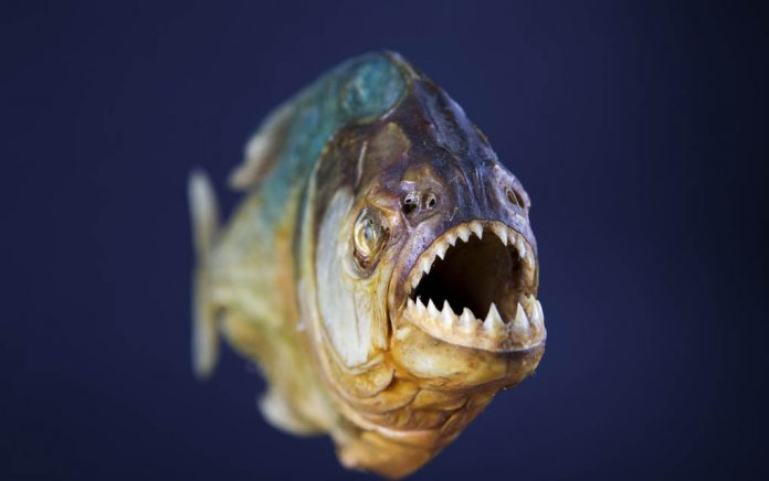 How to Survive a Swim With... Piranhas?!